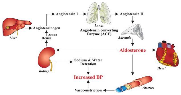 renin és magas vérnyomás