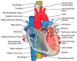 carotis arteria hypertonia nyomás a magas vérnyomás második szakaszában