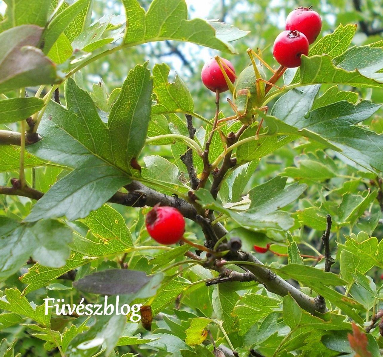 hogyan kell főzni galagonya gyümölcsöket magas vérnyomás esetén tavaszi magas vérnyomás