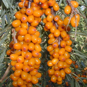 Igazi C-vitamin bomba ez a növény