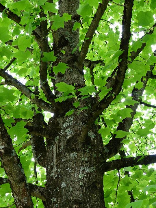 nyárfa kérge magas vérnyomásban