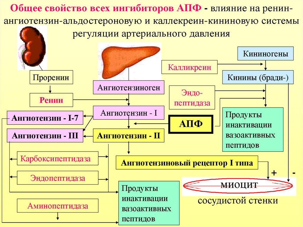 Az APF gátolja a magas vérnyomást
